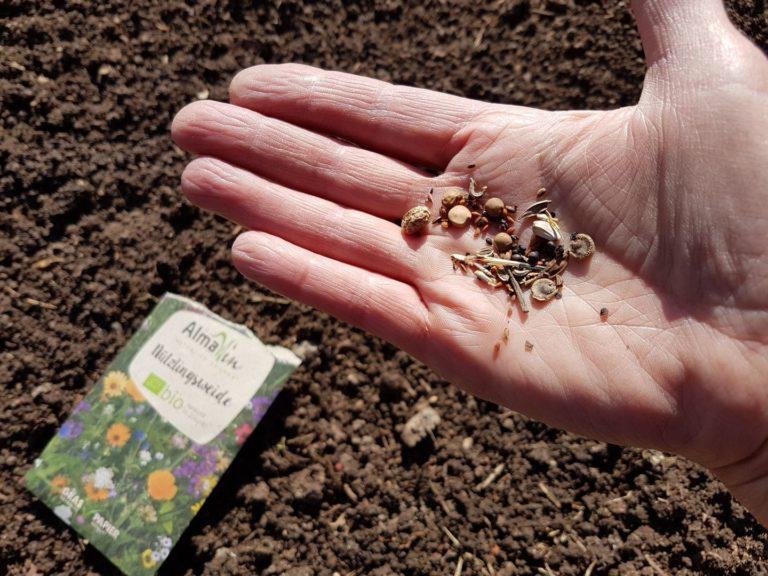 Nützlingsweide Samen